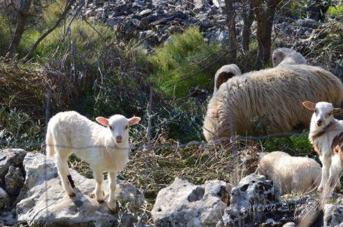 Dračevice - spring sheeps / proljeće ovce