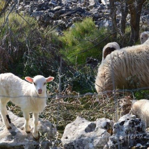 Dračevice - spring sheeps / proljeće ovce