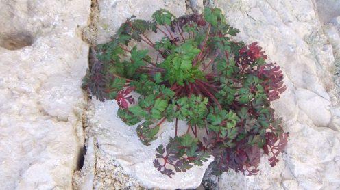 Pustinja Blaca, biljka