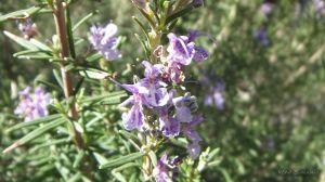 Pustinja Blaca - cvijet ružmarina, rosmery flower