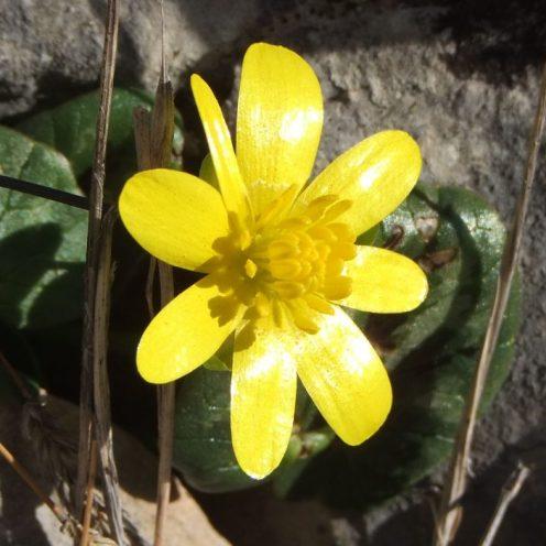 Pustinja Blaca, žuti cvijet