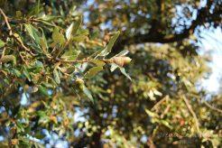 acorn, Pustinja Blaca