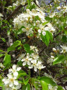 Pustinja Blaca, cvijet, proljeće, spring