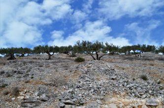 Dol - olives / masline