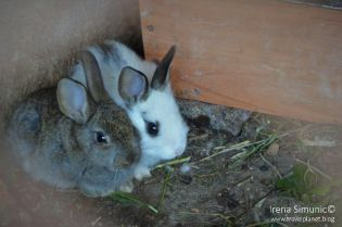 Dol - Bunnies / zečići
