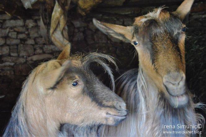 Dol - two cuntet goats / dvije čupave koze