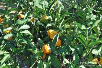 Dol tangerines / mandarine