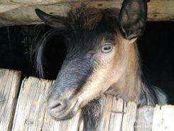 Dol - cunted goat / čupava koza